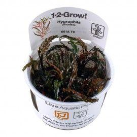 Hygrophila pinnatifida 1-2 Grow Tropica