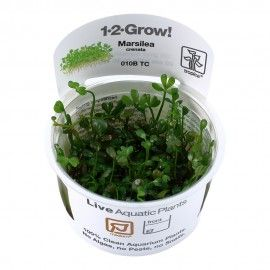 Marsilea crenata 1-2 Grow Tropica