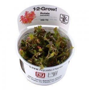 Rotala macrandra 1-2 Grow Tropica