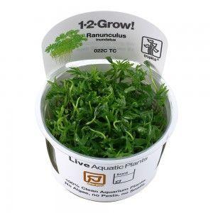 Ranunculus inundatus 1-2 Grow Tropica