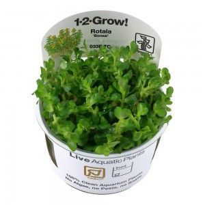 Rotala indica Bonsai 1-2 Grow Tropica