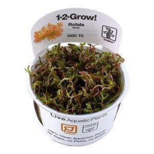 Rotala rotundifolia H'ra 1-2 Grow Tropica