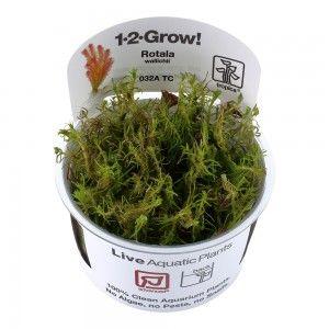 Rotala wallichii 1-2 Grow Tropica
