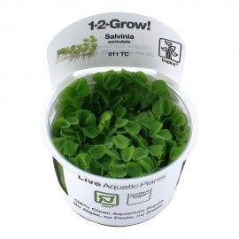 Salvinia auriculata 1-2 Grow Tropica