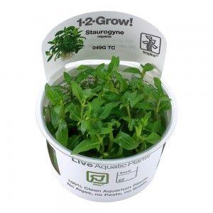 Staurogyne repens 1-2 Grow Tropica