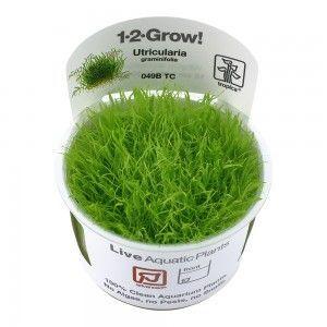 Utricularia graminifolia1-2 Grow Tropica