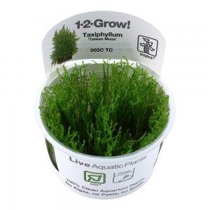 Taxiphyllum alternans Taiwan 1-2 Grow Tropica