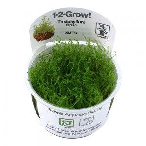 Taxiphyllum barbieri Java moss 1-2 Grow Tropica