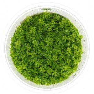 Hemianthus micranthemoides In-Vitro XL
