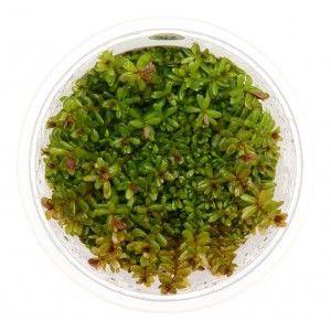 Rotala rotundifolia In-Vitro XL