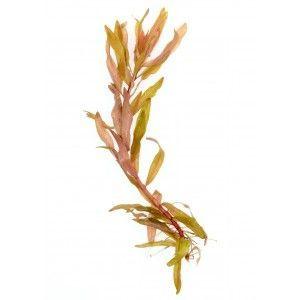Ammania (Nesaea) pedicellata Gold [koszyk]
