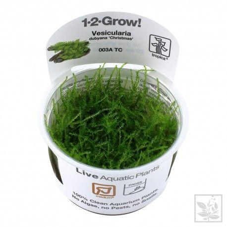 Vesicularia montagnei Christmas 1-2 Grow Tropica