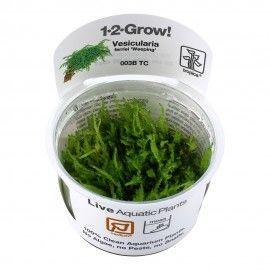 Vesicularia ferriei Weeping moss 1-2 Grow Tropica
