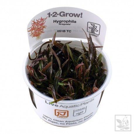 Hygrophila lancea Araguaia 1-2 Grow Tropica