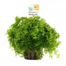Micranthemum monte carlo [koszyk]