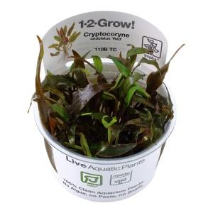 Cryptocoryne undulatus Red 1-2 Grow Tropica
