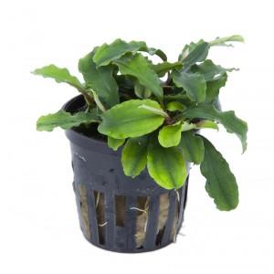 Bucephalandra pygmaea Wavy Green koszyk Tropica