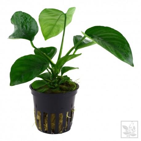 Anubias barteri caladiifolia koszyk Tropica