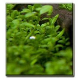 Micranthemum 'monte carlo' [porcja]
