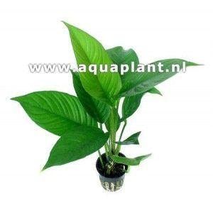 Anubias heterophylla [koszyk]