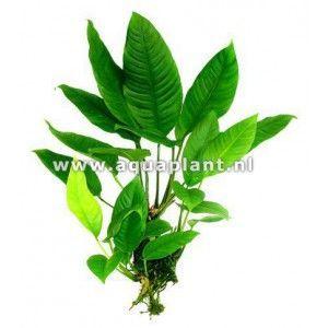 Anubias heterophylla big [koszyk]
