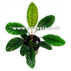 Anubias barteri var. coffeefolia [koszyk]