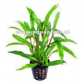 Hygrophila salicifolia [koszyk]