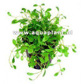 Glossostigma elatinoides [koszyk]
