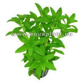 Eusteralis stellata narrow leaf [koszyk]