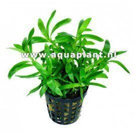 Heteranthera zosterifolia [koszyk]