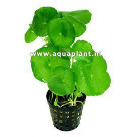 Hydrocotyle vulgaris [koszyk]