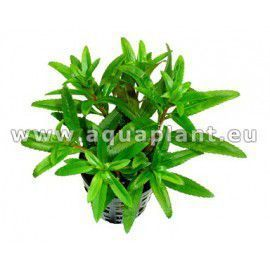 Proserpinaca palustris [koszyk]