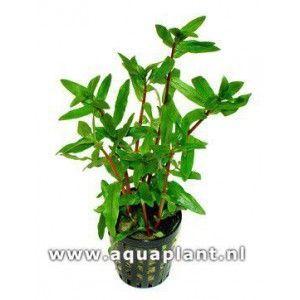 Ammania gracilis green [koszyk]