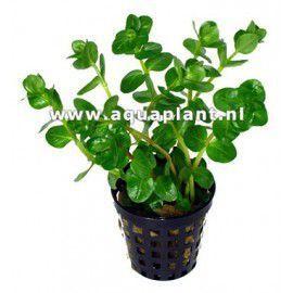 Rotala rotundifolia 'green' [koszyk]