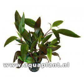 Hygrophila guianensis [koszyk]