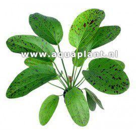 Echinodorus ozelot green [koszyk]