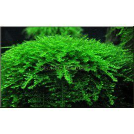 Mini taiwan moss - Isopterygium sp.