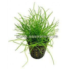 Lilaeopsis mauritiana [koszyk]