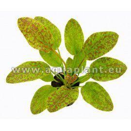 Echinodorus green flame [koszyk]