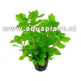 Shinnersia green [koszyk]