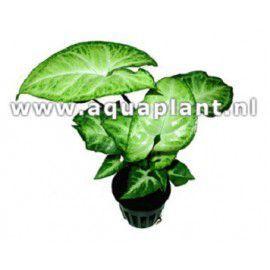 Syngonium white - green [koszyk]