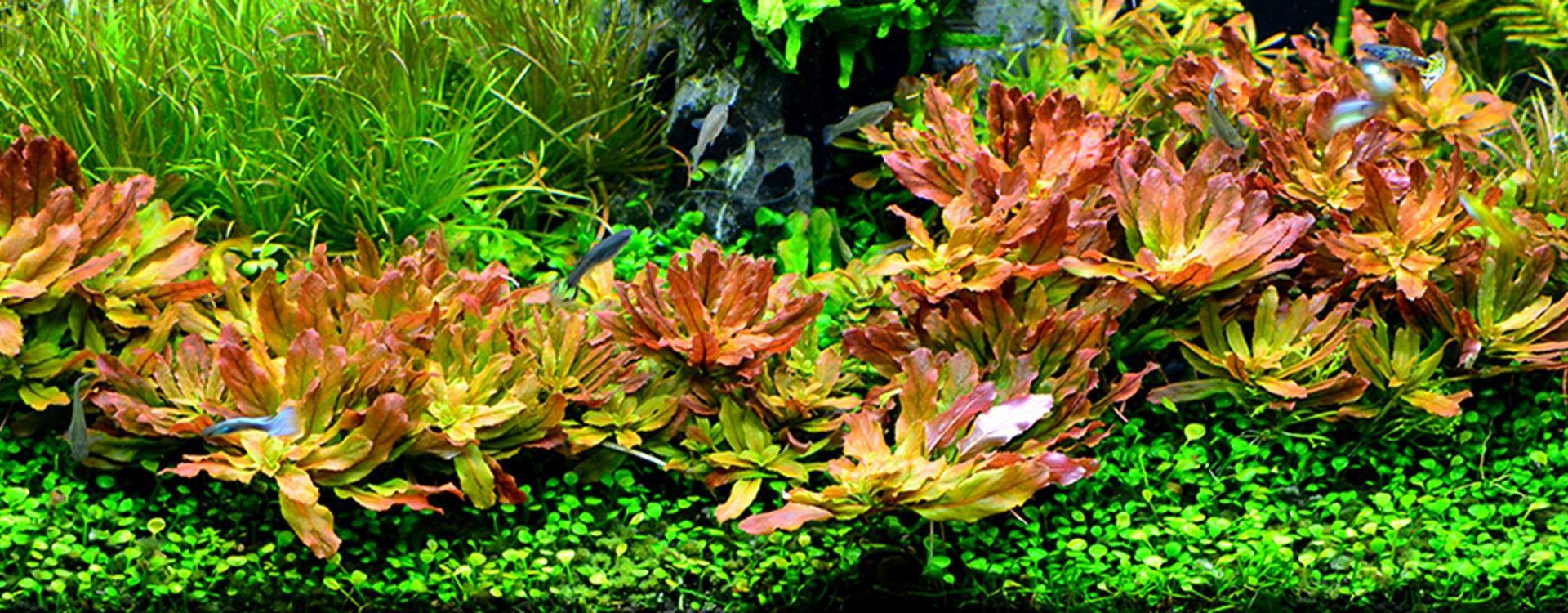 Rośliny akwariowe łatwe w uprawie