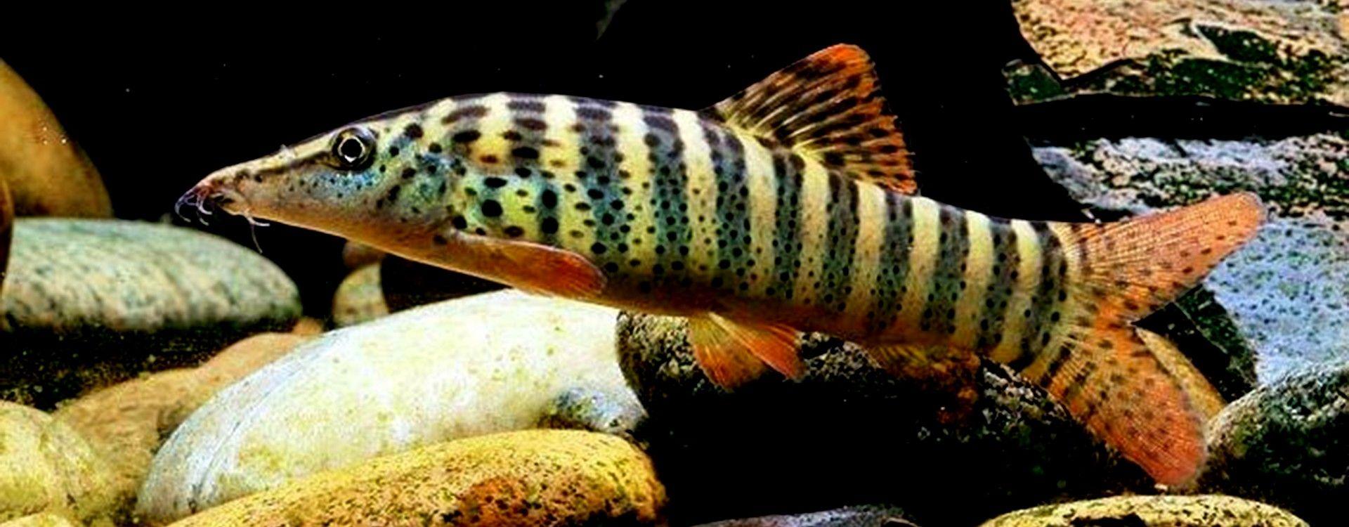 Przewodnik ryb akwariowych. Bocje - ryby z rodziny piskorzowatych.