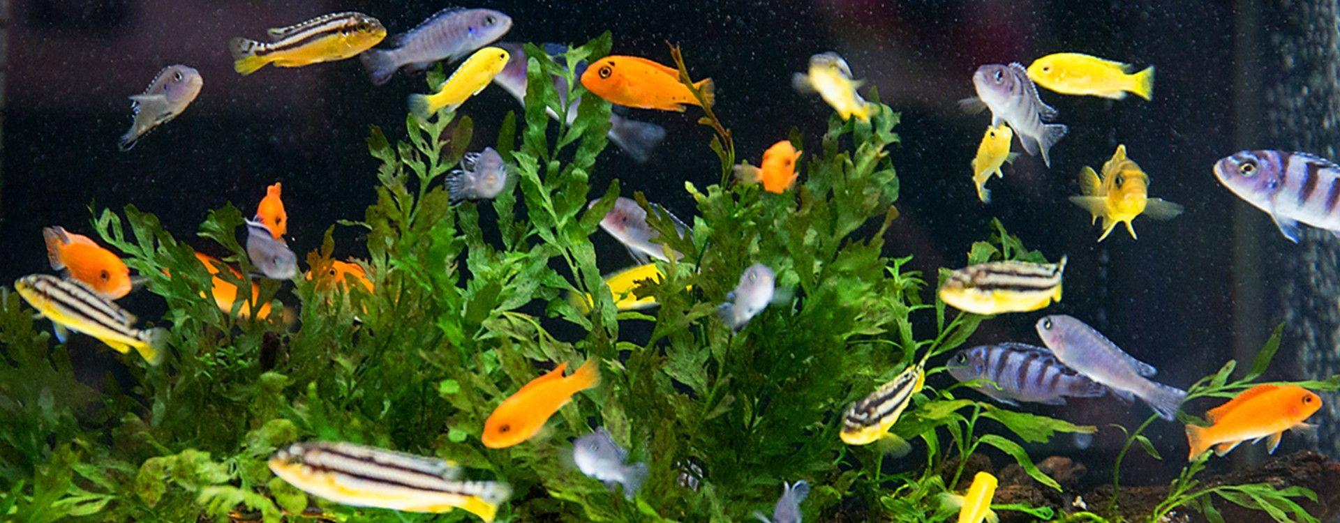Karmienie ryb akwariowych – poznaj 6 podstawowych zasad.