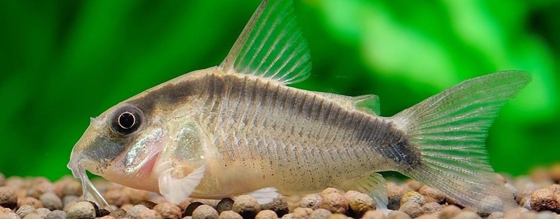 Przewodnik ryb akwariowych. Kirysy - ryby z rodziny kirysowatych.