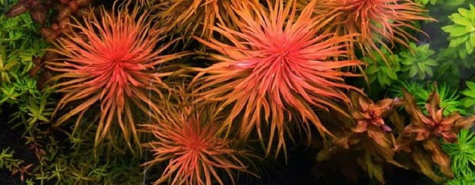 Przewodnik roślin akwariowych – Rośliny z rodzaju Ludwigia